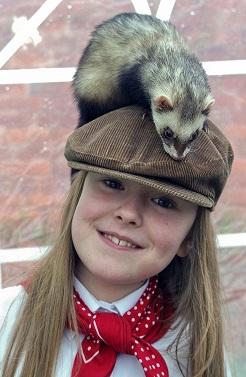 Darcey Chambers, from Malvern, with one of the racing ferrets