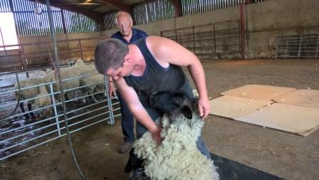 Farm Activity Day with Councillor Rob Adams at his own Aston Hall Farm an image of a sheep be sheared