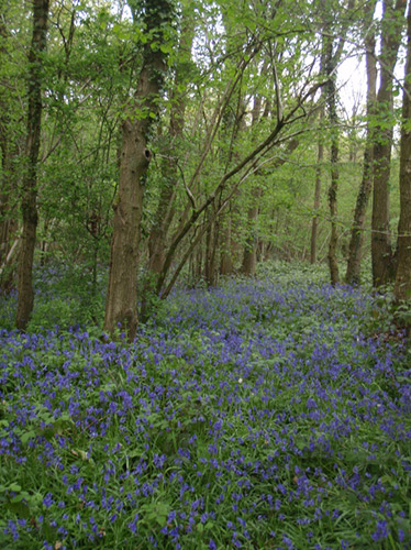 View of bluebells at Nunnery Wood